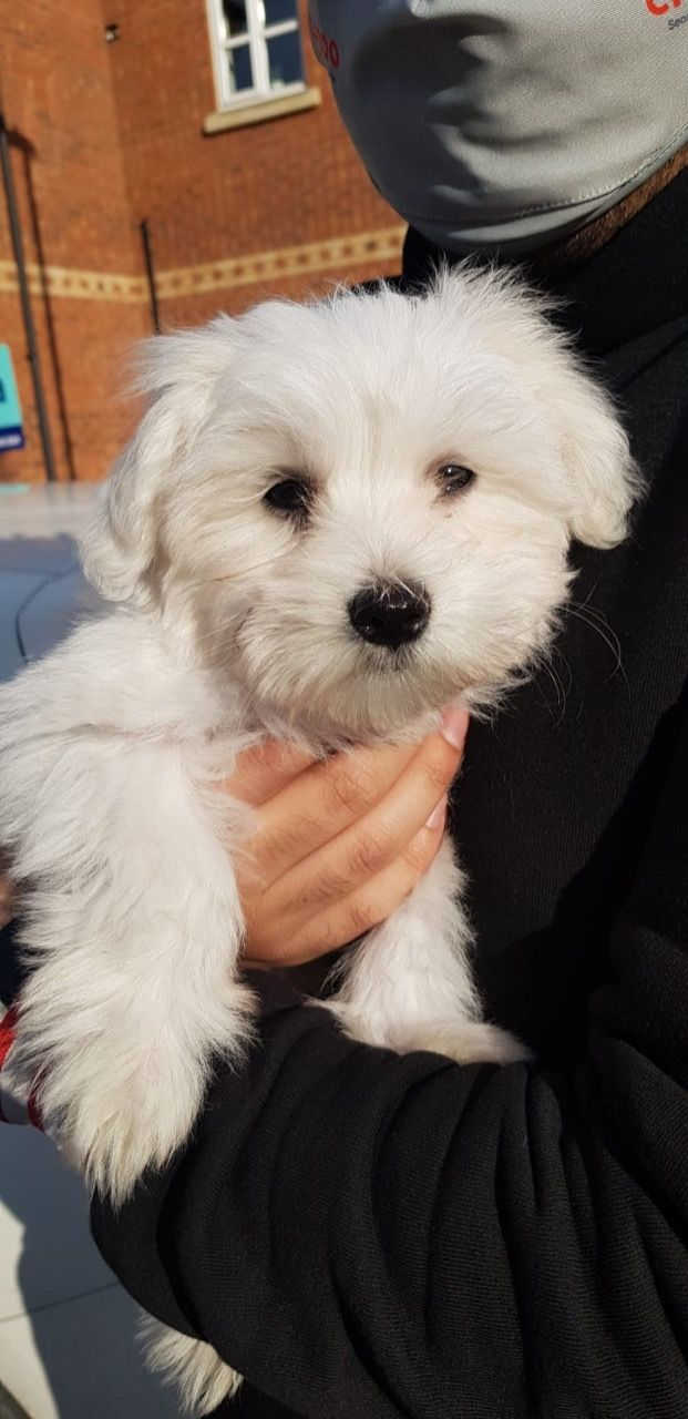 gorgeous-maltese-puppy-fully-house-trained-608bf9fcaec7e
