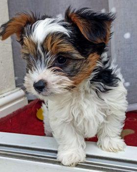 yorkshire-terrier-biewer-puppies-60b7d1cf265f7